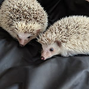 tow while albino hedgehogs on a black Sheets of San Francisco Fluidproof Sheet